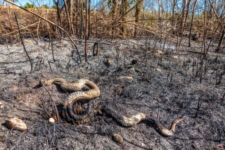 Burnt snake on the ground after huge fire