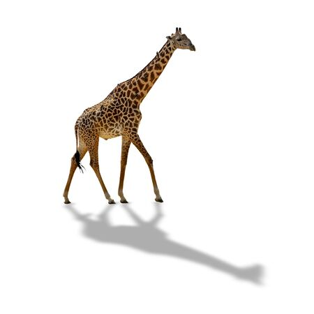 Giraffe isolated on white background with shadow Stock Photo