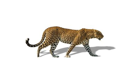 Profile view of leopard walking isolated on white with shadow Reklamní fotografie