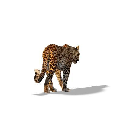 Rear view of leopard walking isolated on white with shadow Reklamní fotografie