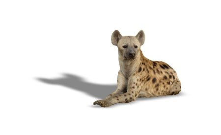 Hyena laid down on the ground over white