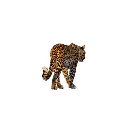 Rear view of leopard walking isolated on white Reklamní fotografie
