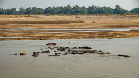 Hippos in the water in the middle of the river