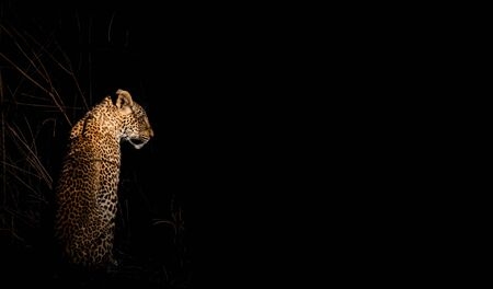 Leopard in the night wild looking to the darkness