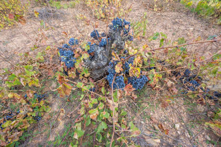 Top view of Neglected Vineyard with black grapes bunch 免版税图像 - 150857324