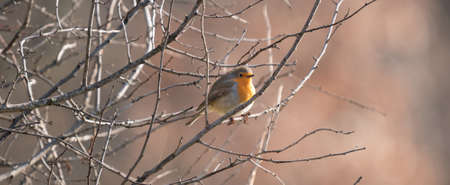 Erithacus rubecula over branch at winter time Stock Photo
