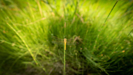 Dragonfly on top of the sprig with shallow depth of field