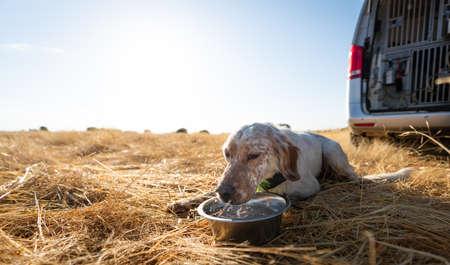 Pointer pedigree dog drinking water near the van
