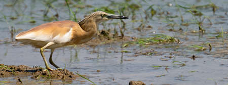 Bittern searching for small fish over flooded rice field