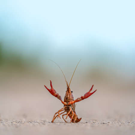 Crayfish with extended claws defending position Reklamní fotografie