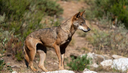 Profile view of wolf over the rocks looking the right Banque d'images