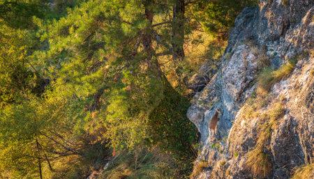 Capra pyrenaicas over the rocks top view