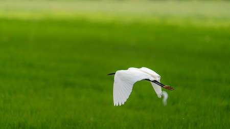White heron flying over rice field with text space Stock Photo