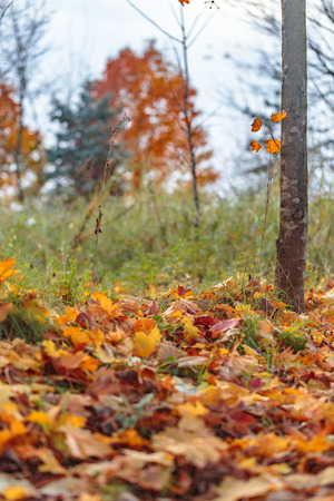 Trees with yellow and orange leaves on the ground Stock Photo