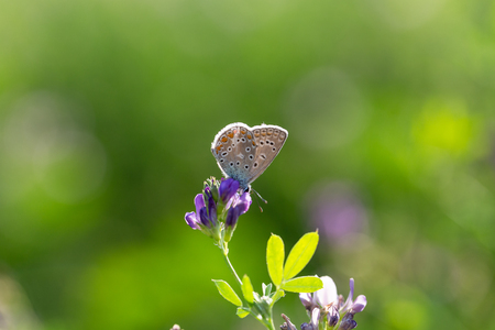 The common blue butterfly (Polyommatus icarus) Stock Photo