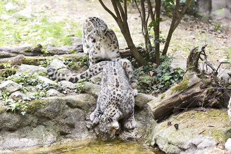 male and female snow leopard