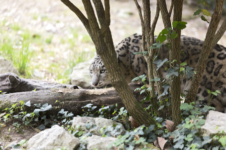 snow leopard behind a tree Stock Photo