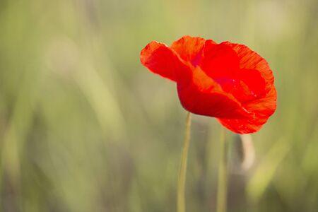 Common poppy, Papaver rhoeas Stock Photo