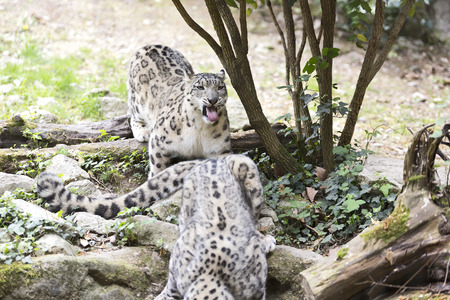 Pair of Snow leopard or ounce (Panthera ounce) Stock Photo