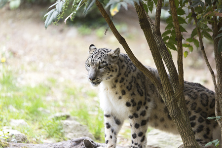 The snow leopard or ounce (Panthera ounce)