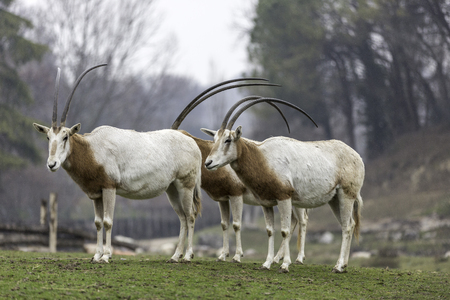The scimitar oryx or scimitar-horned oryx (Oryx dammah), also known as the Sahara oryx