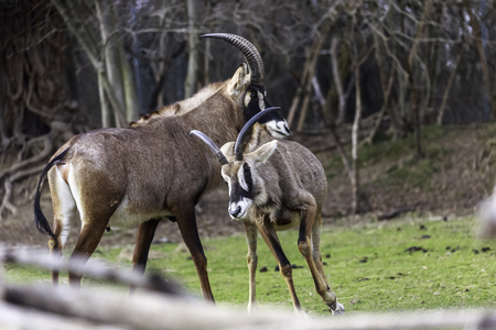 mating strategies in male antelopes, pair of savannah antelope in preparation for mating