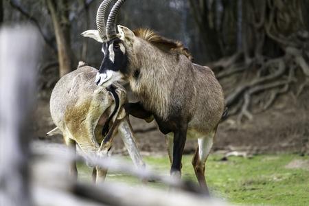 mating strategies in male antelopes, pair of savannah antelope in preparation for mating