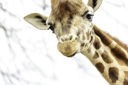 The northern giraffe (Giraffa camelopardalis), also known as three-horned giraffe