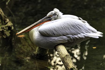 The Dalmatian pelican (Pelecanus crispus) on the trunk of the tree