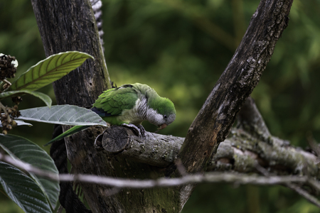 , bright-green parrot with a greyish breast and greenish-yellow abdomen
