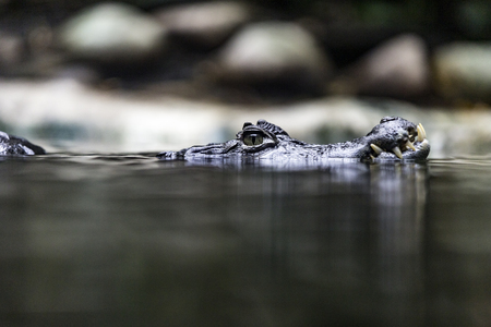 The spectacled caiman, Caiman crocodilus, also known as the white caiman or common caiman