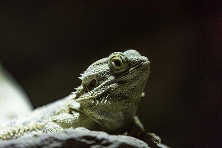 Pogona vitticeps, the central (or inland) bearded dragon Stock Photo
