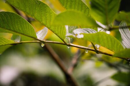 water drops on guava leafs