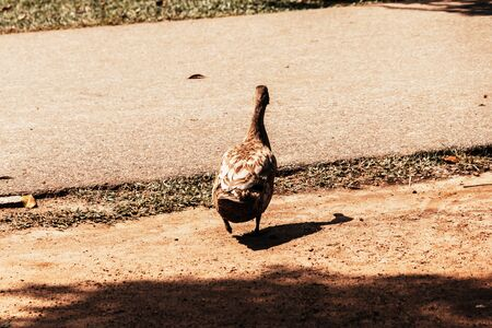 Duck walking on ground close up Sri Lanka