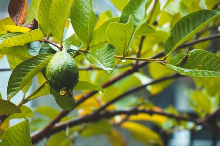 guava on tree with water drops cloudy day