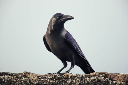 crow closeup gall sri lanka daylight sunnyday 版權商用圖片