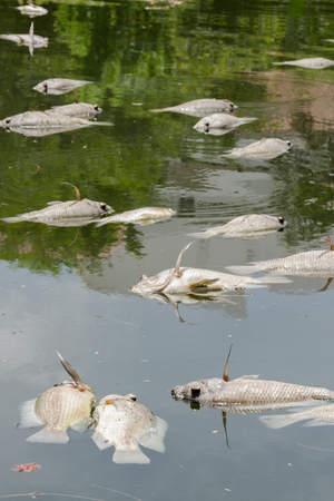 carcasses: Many dead fish carcasses Floating in river water pollution