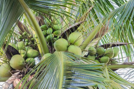 the fruitful: green coconut fruitful on tree Stock Photo