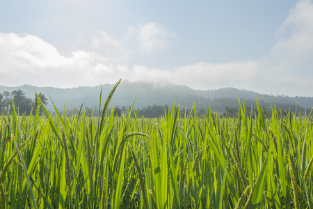 drop in: Paddy field and dew drop in thailand