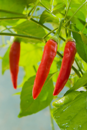 red chili pepper: Fresh chili is on the tree