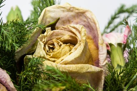 withered: colorful dried withered roses