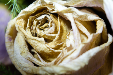 withered: Close up of withered rose