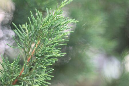 leaf close up: Green pine leaf close up Stock Photo