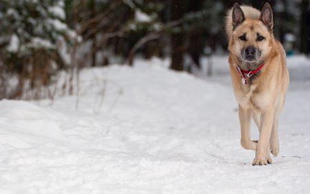 West Siberian Laika walking in winter forest photo