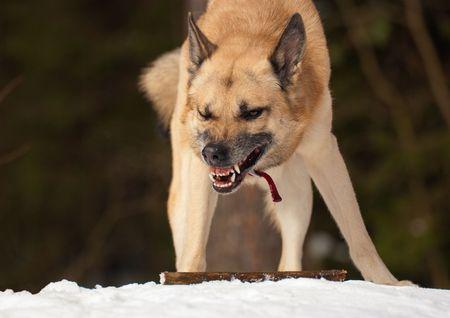 perro furioso: Perros agresivos con un palo en el bosque en invierno