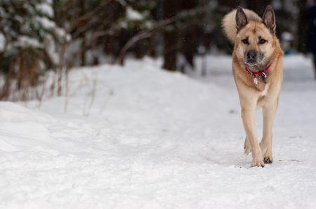rescue west: West Siberian Laika walking in winter forest