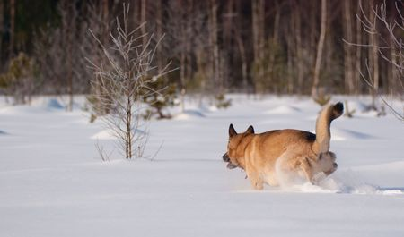 arri�re-pays: West Siberian Laika running on backcountry snow Banque d'images