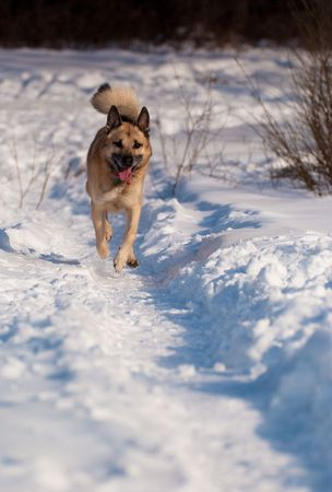 Running West Siberian Laika, snow and morning sunlight photo