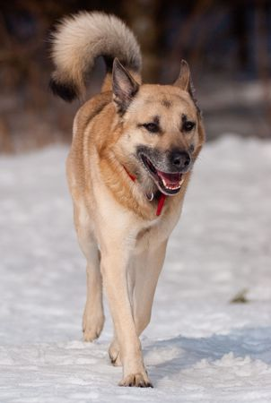 Running West Siberian Laika in winter forest photo
