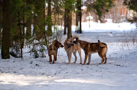 Mixed-breed dogs and west siberian laika in winter forest photo